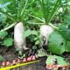 白萝卜种子 蔬菜种子 早熟高产口感好