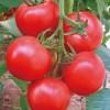 石头番茄种子/番茄苗 大红西红柿高产红硬果早熟