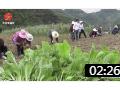 大方县达溪镇 秋种正当时 蔬菜栽种忙 (19播放)