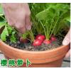 樱桃萝卜种子种籽小水果萝卜菜籽种春夏四季阳台盆栽蔬菜种孑红白