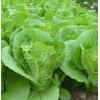 快菜种子有机小白菜籽四季播早熟春季夏秋冬季种青蔬菜菜种孑阳台